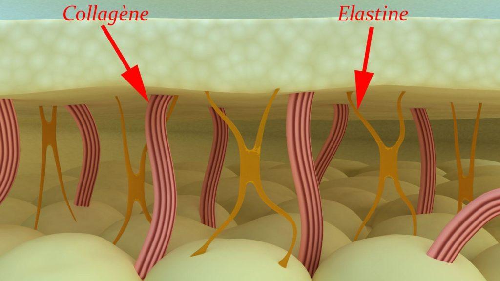 эластин и коллаген под микроскопом